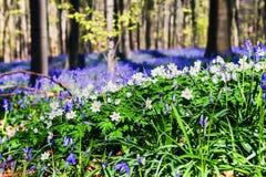 Δάσος άνοιξη που καλύπτεται με τα bluebells και anemones Στοκ Φωτογραφία