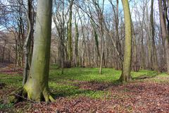 Δάσος άνοιξη - πρώιμο ελατήριο σε ένα δάσος, δέντρα χωρίς φύλλα, πράσινα φύλλα του άγριου σκόρδου στο έδαφος στοκ εικόνες