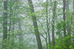Δάσος άνοιξη στην ομίχλη με Dogwood Στοκ Φωτογραφίες