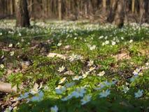 Δάσος άνοιξη στο pomoravi Litovelske, Δημοκρατία της Τσεχίας Στοκ φωτογραφία με δικαίωμα ελεύθερης χρήσης