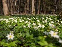 Δάσος άνοιξη στο pomoravi Litovelske, Δημοκρατία της Τσεχίας Στοκ Εικόνες