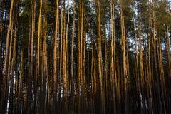 Δάσος, άποψη από τη να κάνει σκι διαδρομή, Gorodok Στοκ εικόνα με δικαίωμα ελεύθερης χρήσης