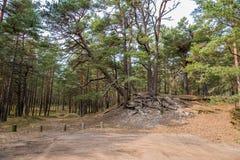 Δάσος δέντρων πεύκων κοντά στη θάλασσα της Βαλτικής σε Jurmala, Λετονία Στοκ εικόνα με δικαίωμα ελεύθερης χρήσης