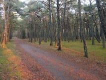 Δάσος δέντρων πεύκων, Λιθουανία Στοκ Φωτογραφία