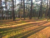 Δάσος δέντρων πεύκων, Λιθουανία Στοκ Εικόνα