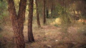 Δάσος δέντρων πεύκων - μαγικός ρομαντικός κοιτάζει απόθεμα βίντεο