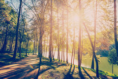 Δάσος δέντρων πεύκων με το φως του ήλιου και σκιές στην ανατολή Στοκ Φωτογραφία