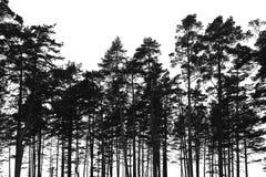 Δάσος δέντρων πεύκων που απομονώνεται στο άσπρο υπόβαθρο στοκ εικόνες