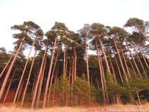 Δάσος δέντρων πεύκων στα χρώματα ηλιοβασιλέματος, Λιθουανία Στοκ Φωτογραφία