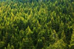 Δάσος δέντρων πεύκων