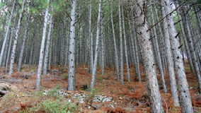 Δάσος δέντρων πεύκων Στοκ Φωτογραφίες