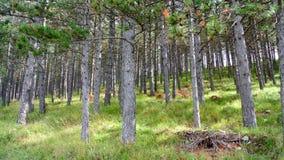 Δάσος δέντρων πεύκων στοκ εικόνα με δικαίωμα ελεύθερης χρήσης
