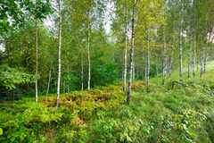 Δάσος δέντρων σημύδων Στοκ εικόνες με δικαίωμα ελεύθερης χρήσης