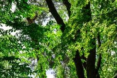 Δάσος δέντρων στο δάσος σε Aomori, Ιαπωνία Στοκ Εικόνες