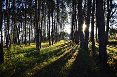 Δάσος αγριόπευκων με το φως του ήλιου και τις σκιές στο ηλιοβασίλεμα, Ταϊλάνδη Στοκ φωτογραφίες με δικαίωμα ελεύθερης χρήσης