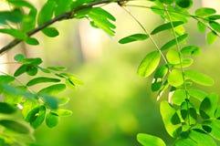 δάσος ακακιών στοκ φωτογραφίες με δικαίωμα ελεύθερης χρήσης