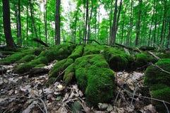 Δάσος - βρύο 2 Sphagnum Στοκ εικόνα με δικαίωμα ελεύθερης χρήσης