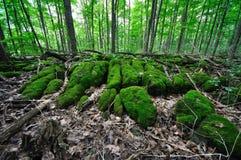 Δάσος - βρύο 4 Sphagnum Στοκ Φωτογραφία