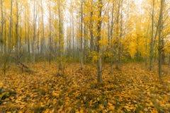 Δάσος δέντρων λευκών στο Όρεγκον κατά τη διάρκεια της εποχής πτώσης στοκ εικόνες με δικαίωμα ελεύθερης χρήσης