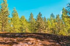 Δάσος δέντρων πεύκων στην άκρη του λόφου και του μπλε ουρανού Στοκ Εικόνα