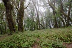 Δάσος δαφνών στοκ εικόνες με δικαίωμα ελεύθερης χρήσης