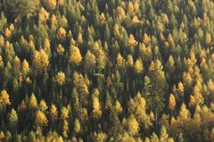 Δάσος ερυθρελατών και πεύκων με μερικά αποβαλλόμενα δέντρα σε μια εποχή πτώσης στοκ εικόνα με δικαίωμα ελεύθερης χρήσης