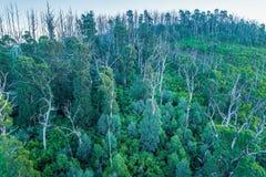 Δάσος ευκαλύπτων που ανακτεί από τις πυρκαγιές θάμνων στοκ εικόνα