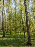 δάσος ηλιόλουστο Στοκ Εικόνες