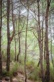 Δάσος θερινών πεύκων Στοκ φωτογραφίες με δικαίωμα ελεύθερης χρήσης