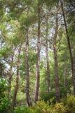 Δάσος θερινών πεύκων Στοκ εικόνες με δικαίωμα ελεύθερης χρήσης