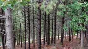 Δάσος θερινών πεύκων Στοκ Φωτογραφίες