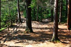 Δάσος θερινών πεύκων Στοκ Εικόνες