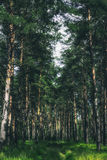 Δάσος θερινών πεύκων Στοκ Φωτογραφία