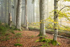 Δάσος ΙΙΙ οξιών (Fagus) Στοκ Φωτογραφία