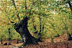 Δάσος κάστανων το φθινόπωρο - Aracena Στοκ Εικόνα
