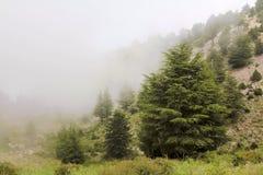 δάσος κέδρων misty Στοκ εικόνες με δικαίωμα ελεύθερης χρήσης