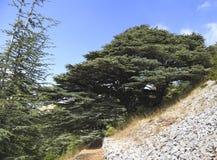 Δάσος κέδρων του Λιβάνου Στοκ Φωτογραφίες