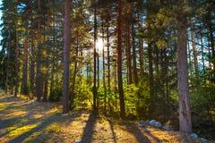 Δάσος και ήλιος πεύκων μεταξύ των κορμών Στοκ φωτογραφία με δικαίωμα ελεύθερης χρήσης