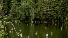 Δάσος και ακόμα νερό απόθεμα βίντεο