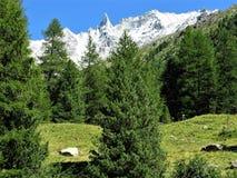 Δάσος και Aiguille de Λα Tsa κοντά σε Arolla, Ελβετία πεύκων Στοκ Εικόνα