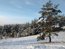 δάσος κοντά στο πεύκο Στοκ φωτογραφίες με δικαίωμα ελεύθερης χρήσης