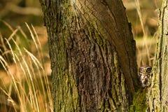 δάσος λίγη κουκουβάγι&alph Στοκ Εικόνες