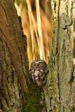 δάσος λίγη κουκουβάγι&alph Στοκ εικόνες με δικαίωμα ελεύθερης χρήσης