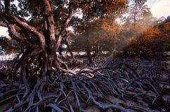 Δάσος μαγγροβίων κατά τη διάρκεια της περιόδου ανομβρίας, Satun, Ταϊλάνδη Στοκ Εικόνες