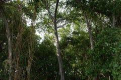 Δάσος μαγγροβίων στην Ταϊλάνδη Στοκ Εικόνα