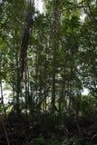 Δάσος μαγγροβίων στην Ταϊλάνδη Στοκ φωτογραφίες με δικαίωμα ελεύθερης χρήσης