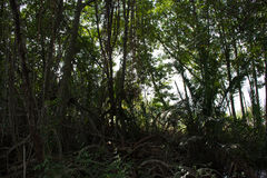 Δάσος μαγγροβίων στην Ταϊλάνδη Στοκ Φωτογραφίες