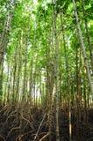 Δάσος μαγγροβίων στοκ εικόνα