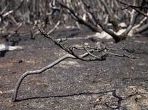 Δάσος μετά από την πυρκαγιά με τα μμένα δέντρα στοκ εικόνα