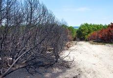 Δάσος μετά από την πυρκαγιά με τα μμένα δέντρα στοκ φωτογραφία με δικαίωμα ελεύθερης χρήσης